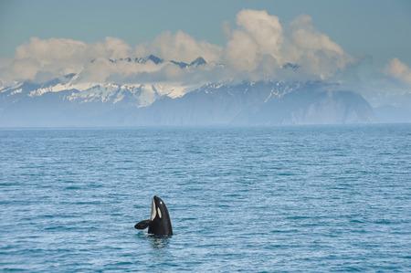 sail fin: Orca Whale jumping in Resurrection Bay, Kenai Fjord in Alaska