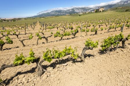 alava: Vineyard with Paganos as background, Rioja Alavesa, Spain