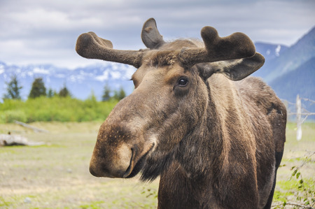 Moose in Alaska, US
