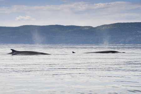 minke: Fin whales in St Lawrence river, Quebec, Canada