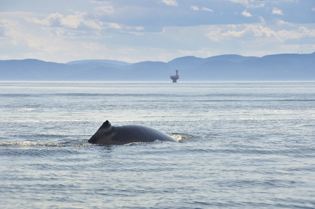 water scape: Fin whale in St Lawrence river, Quebec, Canada