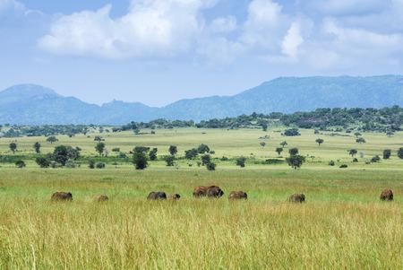 paisagem: Manada de elefantes, parque nacional de Kidepo Valley. Uganda