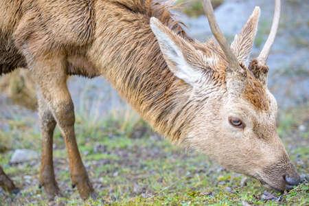 vitoria: Young deer grazing, Salburua park, Vitoria, Spain Stock Photo