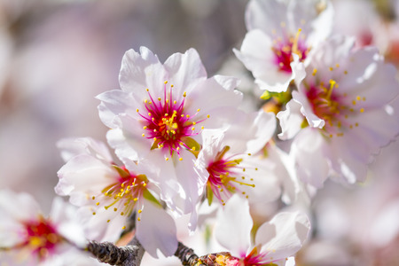 blossoming: Blossoming almond flower in springtime Stock Photo
