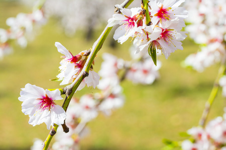 full      bloom: Closeup of a blossoming almond tree in full bloom Stock Photo