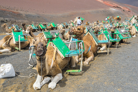 timanfaya: Camels in Timanfaya, waiting for tourists, Canary Islands Stock Photo