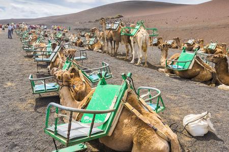 timanfaya: Camels in Timanfaya National Park wait for tourists on October 16, 2014 in  Lanzarote (Spain).
