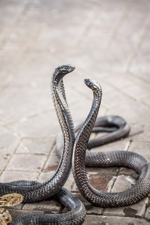 charmed: Two Egyptian cobras charmed at Jemaa elFnaa square Marrakesh Morocco Stock Photo
