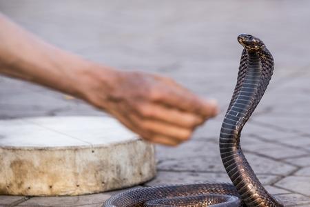 egyptian cobra: Cobra egiziano affascinato in piazza Jemaa elFnaa Marocco Marrakesh