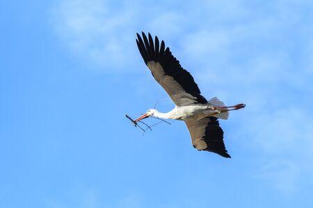 cicogna: Cicogna bianca in volo con un ramo nel becco, Alfaro a La Rioja, Spagna