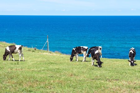 cantabrian: Cows near a Cantabrian sea, Spain