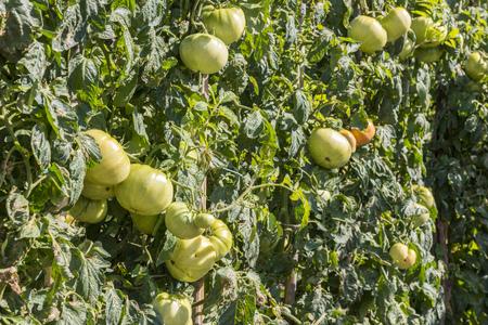 crecimiento planta: Tomates verdes en el jardín, España Foto de archivo