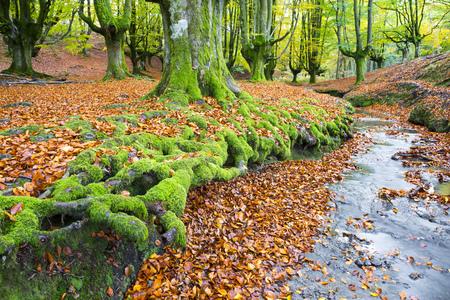 alava: Otzarreta forest beech, Gorbea Natural Park, Bizkaia, Spain