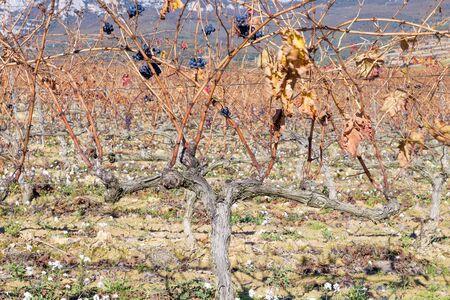 rioja: Vineyard at Rioja Alavesa, Basque Country, Spain Stock Photo