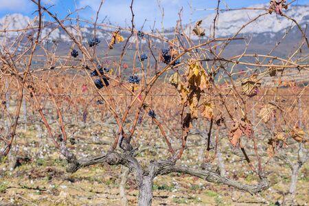 alava: Vineyard at Rioja Alavesa, Basque Country, Spain Stock Photo