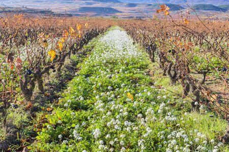 rioja: Vineyard in Autumn, La Rioja, Spain Stock Photo