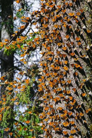 オオカバマダラ生物圏保護区、ミチョアカン州, メキシコ 写真素材