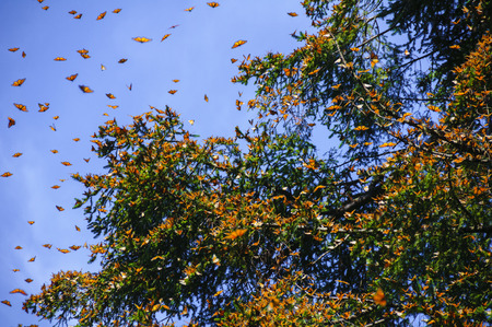 Monarch Butterfly Biosphere Reserve, Michoacan,Mexico Stock fotó - 48709635