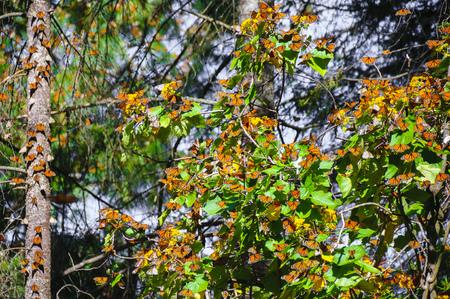 ocampo: Monarch Butterfly Biosphere Reserve, Michoacan,Mexico