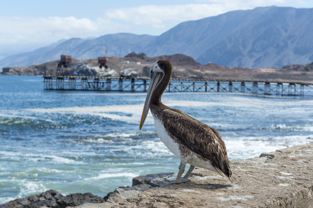 old pier: Brown pelican in the old pier, Taltal, Chile