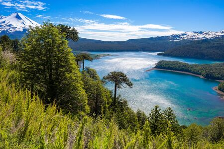 Araucaria forest in Conguillio National Park, Chile