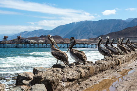old pier: Brown pelicans in the old pier of Taltal, Chile