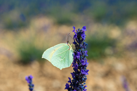 lavendin: Butterfly on a lavender flower, Provence, France