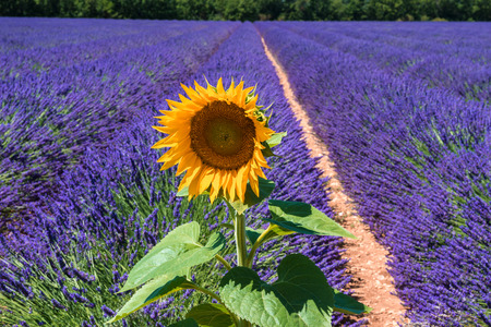 lavendin: Sunflower and a lavender field as background, Provence, France