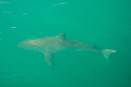 Great white shark, Gansbaai, South Africa