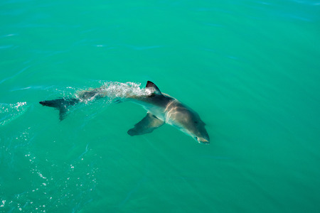 Great white shark, Gansbaai, South Africa