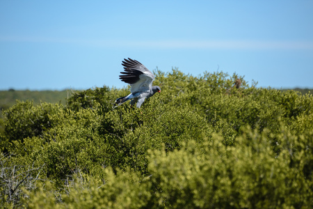 melierax: Pale Chanting Goshawk, South Africa