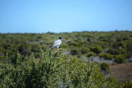Pale Chanting Goshawk in Addo Elephant National Park, South Africa