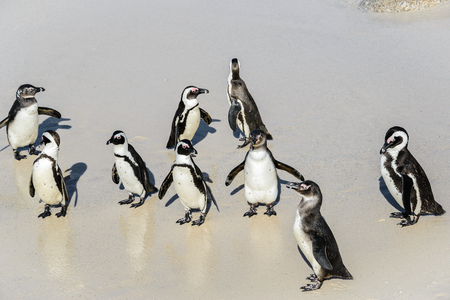 African penguins, Also known as Black-Footed or Jackass Penguin at Boulders Beach in Simons Town, South Africa