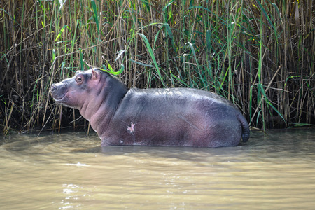 st lucia: Baby hippo at the iSimangaliso Wetland Park, St Lucia, South Africa