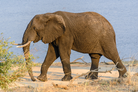 African Elephant in Kruger National Park, South Africa Stock Photo