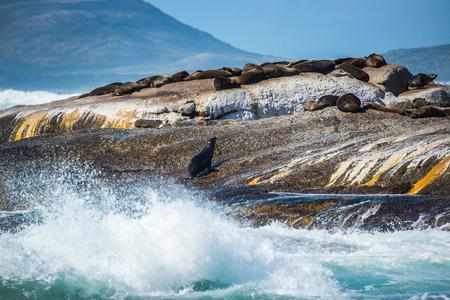 Cape Fur Seals op Duiker Island, Zuid-Afrika Stockfoto