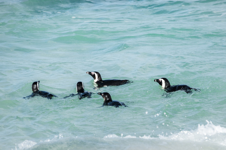 penguins on beach: African penguins, Also known as Black-Footed or Jackass Penguin, swimming at Boulders Beach in Simons Town, South Africa Stock Photo