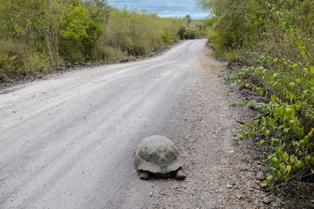 land turtle: Giant tortoise on the road to the Wall of Tears, Isabela Island, Ecuador Stock Photo