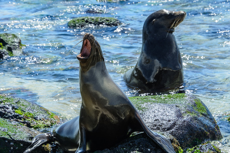 Galapagos sea lions at Mann beach, San Cristobal Island, Ecuador Stock Photo