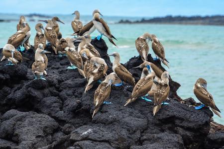 Piqueros de patas azules en una roca, Isla Isabela, Ecuador Foto de archivo - 70097404
