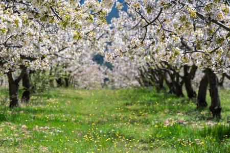 Kwitnące wiśnie w dolinie Caderechas w Hiszpanii