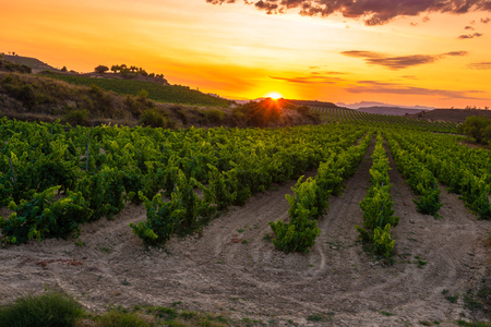 Vineyard at sunset, La Rioja, Spain Banco de Imagens - 101527803