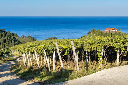 Txakoli vineyards with Cantabrian sea in the background, Getaria in Basque Country, Spain Reklamní fotografie