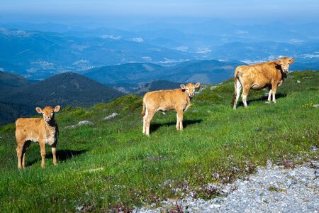 A cow with two calves in Oiz mountain, Basque Country, Spain