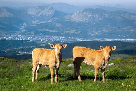 Two calves in Oiz mountain, Basque Country, Spain