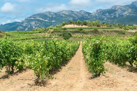 Vineyard in summer at Rioja Alavesa, Basque Country, Spain