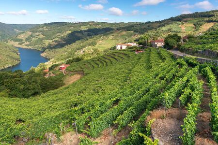 Vineyards along Minho River, Ribeira Sacra in Lugo province, Spain 스톡 콘텐츠