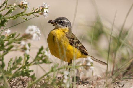 wagtail: Yellow Wagtail (Motacilla flava iberiae) with insects in the beak.