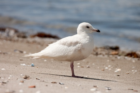 rarity: The Iceland Gull (Larus glaucoides) is a great rarity in Portugal. Stock Photo