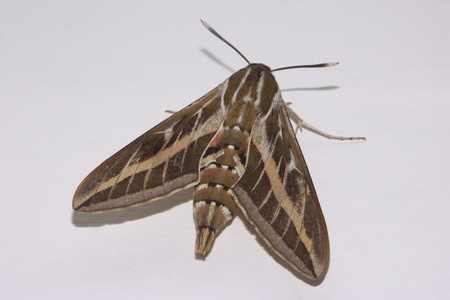 sphingidae: The Striped Hawk-moth (Hyles livornica) is a moth of the family sphingidae and is found in Africa, Southern Europe and Central East Asia.